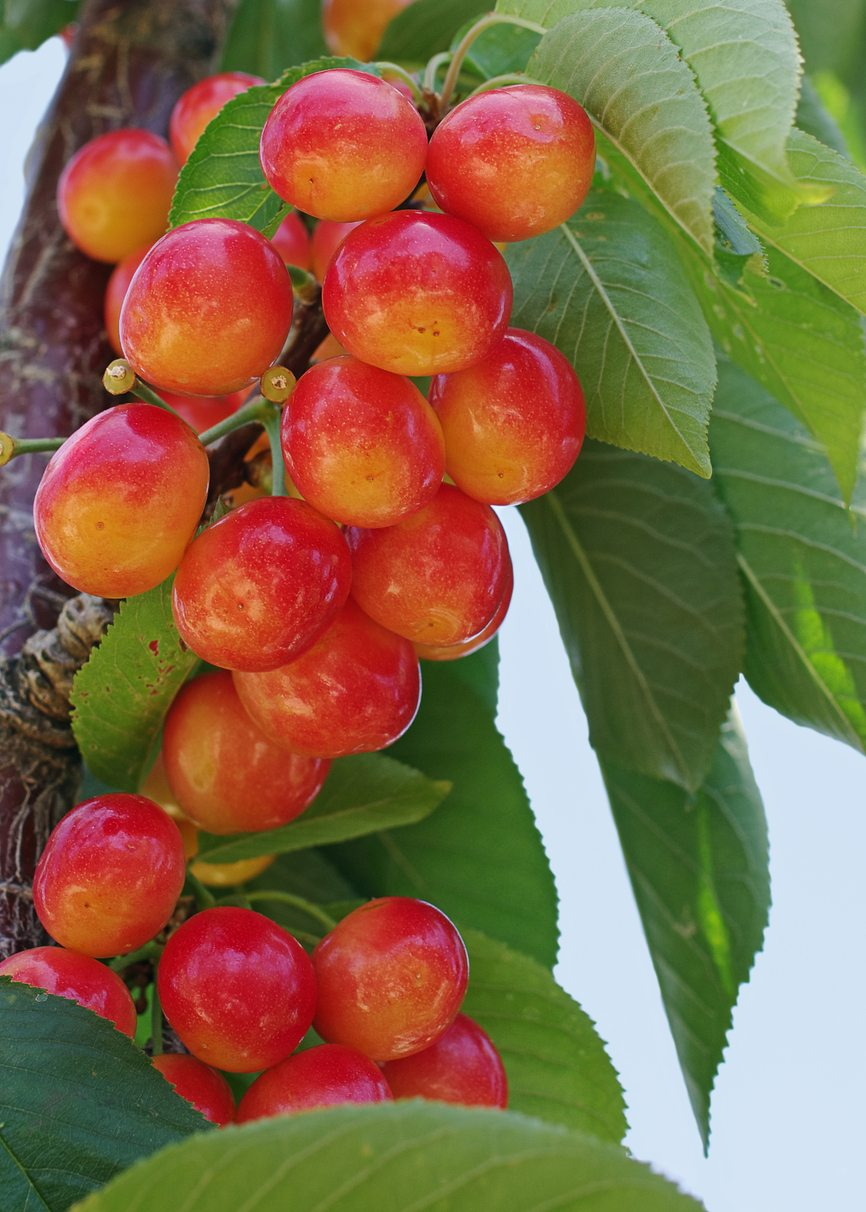 Hardy Cherry Tree Varieties Are There Cherry Trees That Grow In Zone 4