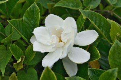 Zone 5 Gardenia Shrubs Tips On Growing Gardenias In Zone 5