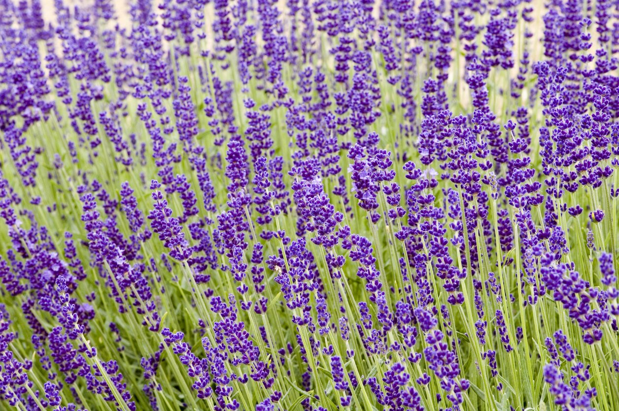 How Hardy Are Lavender Plants Best Lavender Plants For Zone 5 Gardens