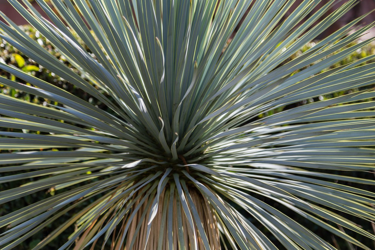 Zone 6 Yucca Plant Varieties Types Of