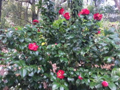 Hardy Camellia Plants Growing Camellias In Zone 6 Gardens