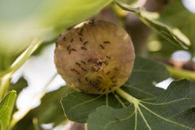 Common Fig Tree Pests What To Do About On Trees