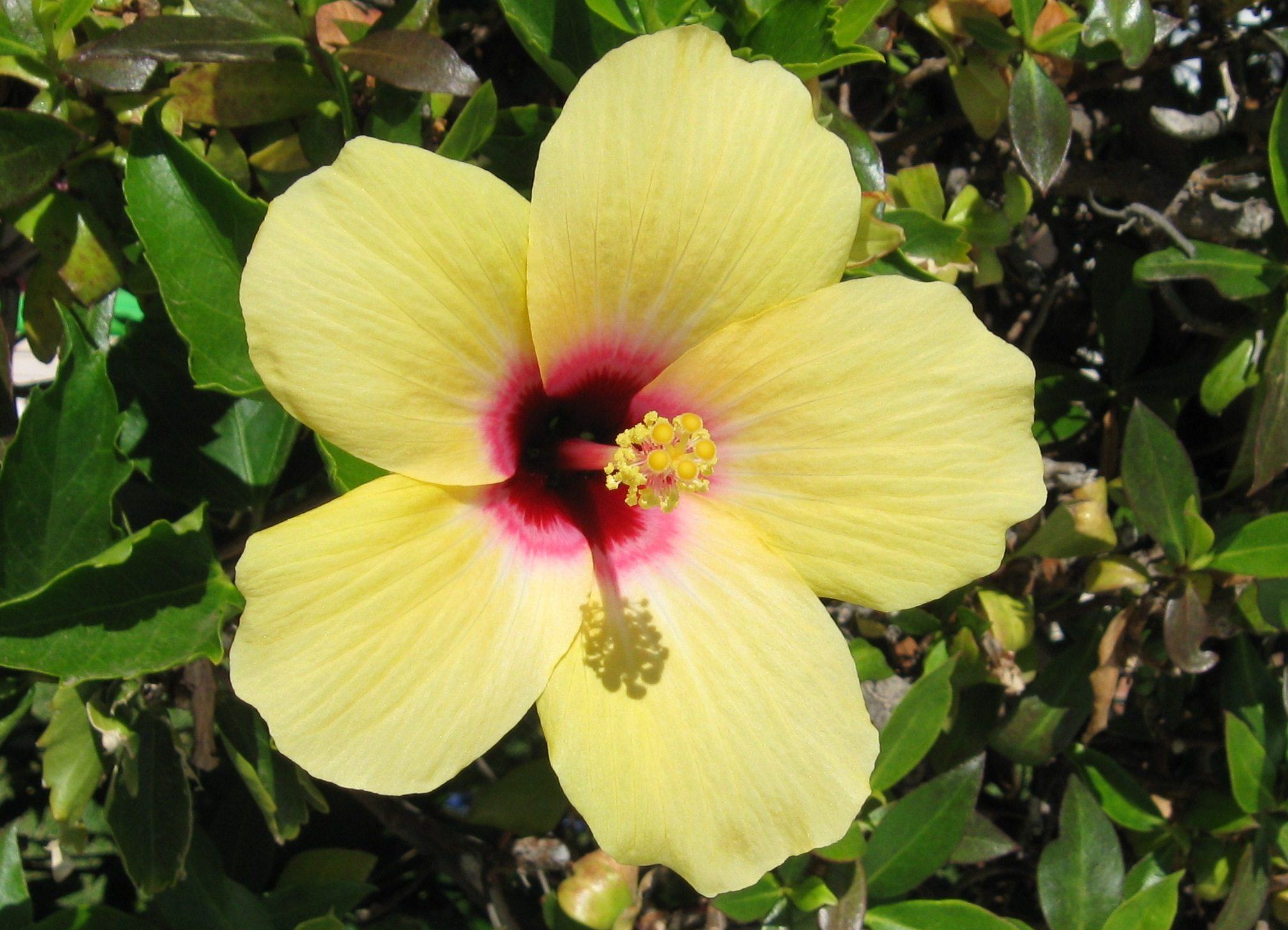Light conditions for hibiscus learn about hibiscus light requirements izmirmasajfo