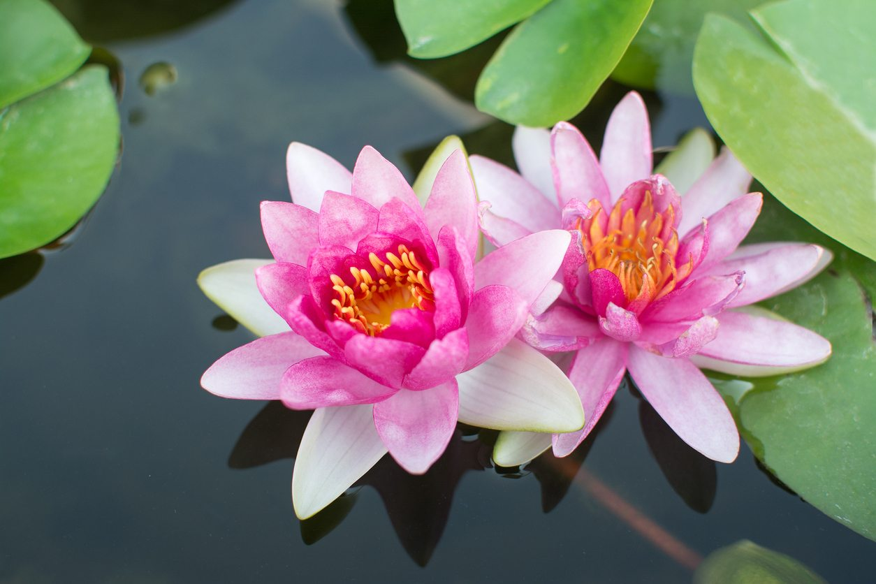 Lotus Plant Information Tips On Growing Lotus Plants