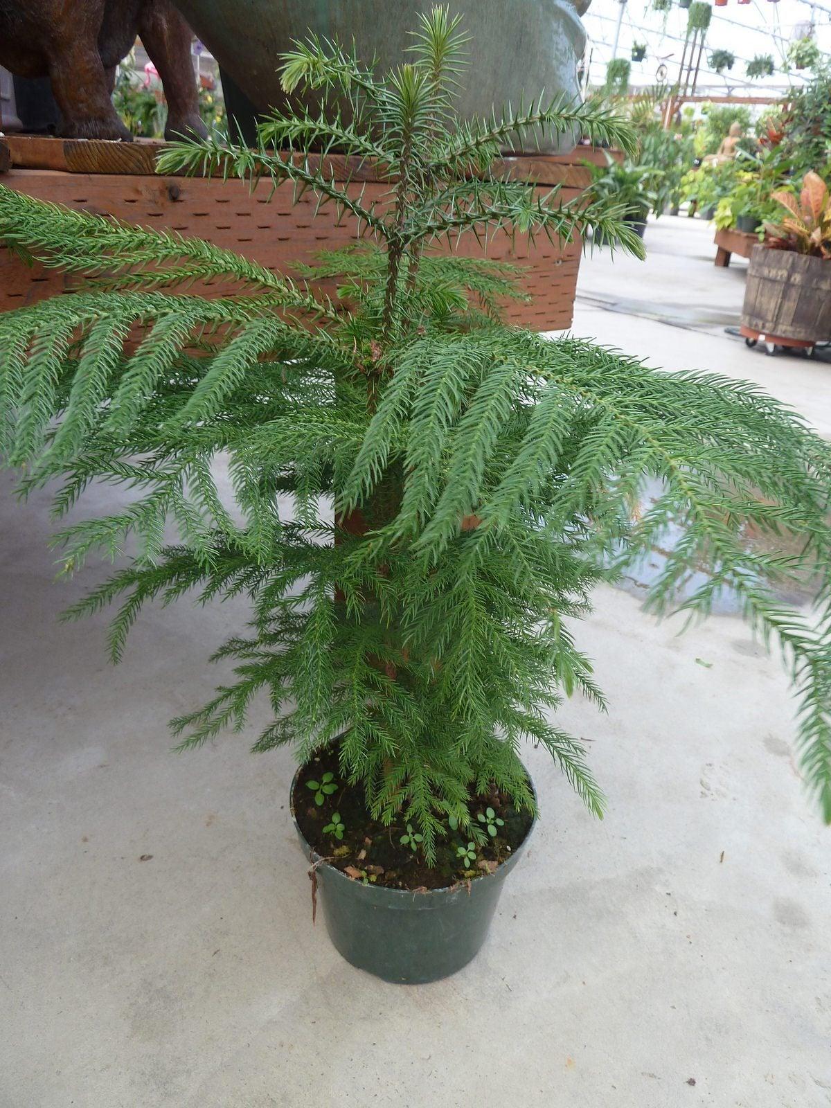 Pruning Of Norfolk Island Pine Trees - Should You Prune A Norfolk ...