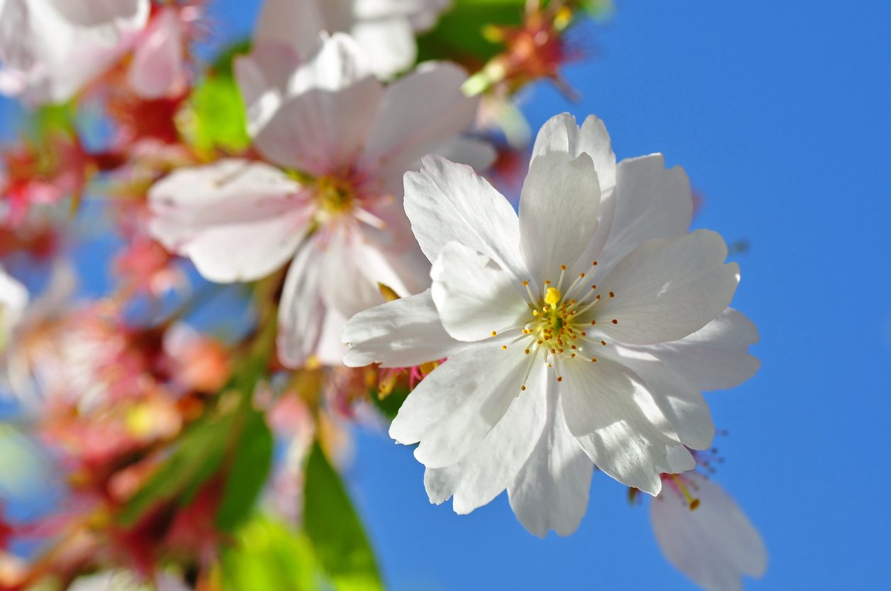 What Are Flowering Cherry Trees Tips On Growing Ornamental Cherries