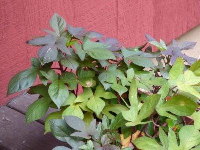 Image By Gardening Know How Via Nikki Tilley Sweet Potato Vines