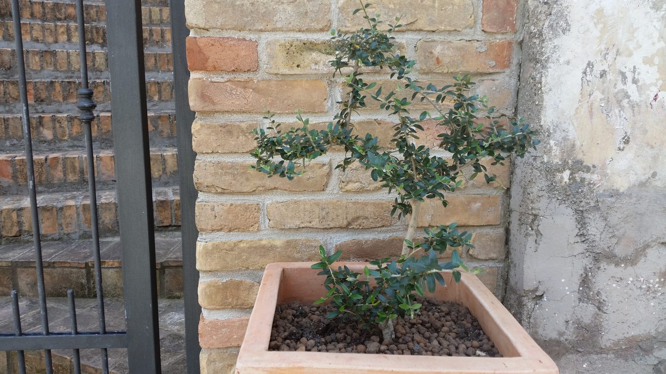Container Grown Olive Trees How To Grow An Olive Tree In A Pot