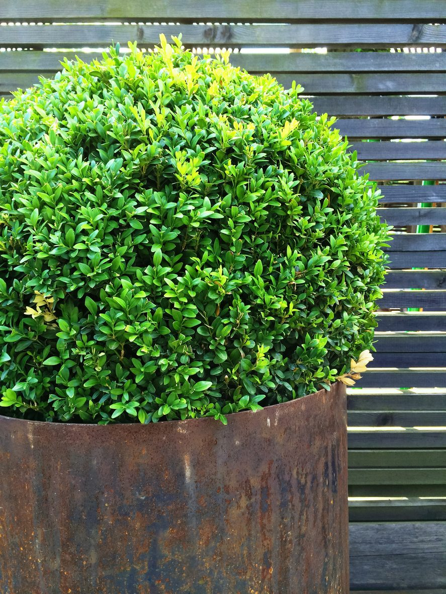 Guide To Growing Sweet Myrtle In The Garden