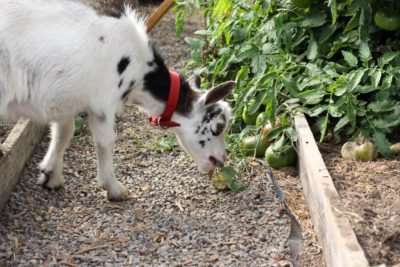 Protecting tomatoes from animals tips on keeping animal - How to protect vegetable garden from animals ...