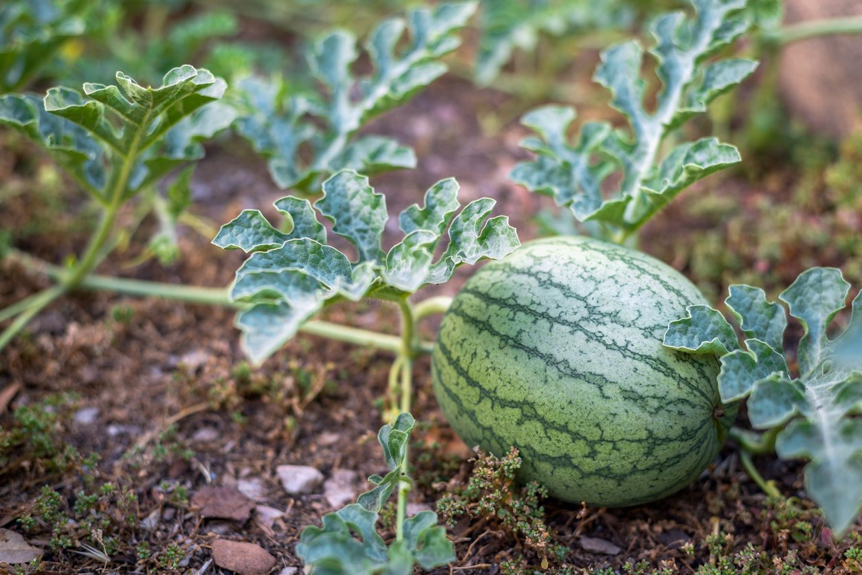 How Many Watermelons Per Plant Tips On Thinning Watermelon Fruit