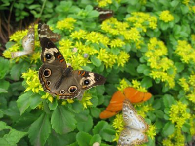 Butterfly Gardening In Zone 5: Hardy Plants That Attract Butterflies