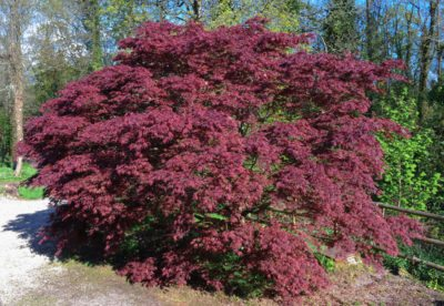Anese Maples For Zone 5 Can Grow In Climates