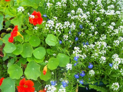 Hardy Flowering Plants Annual And Perennial Flowers For Zone 6 Gardens