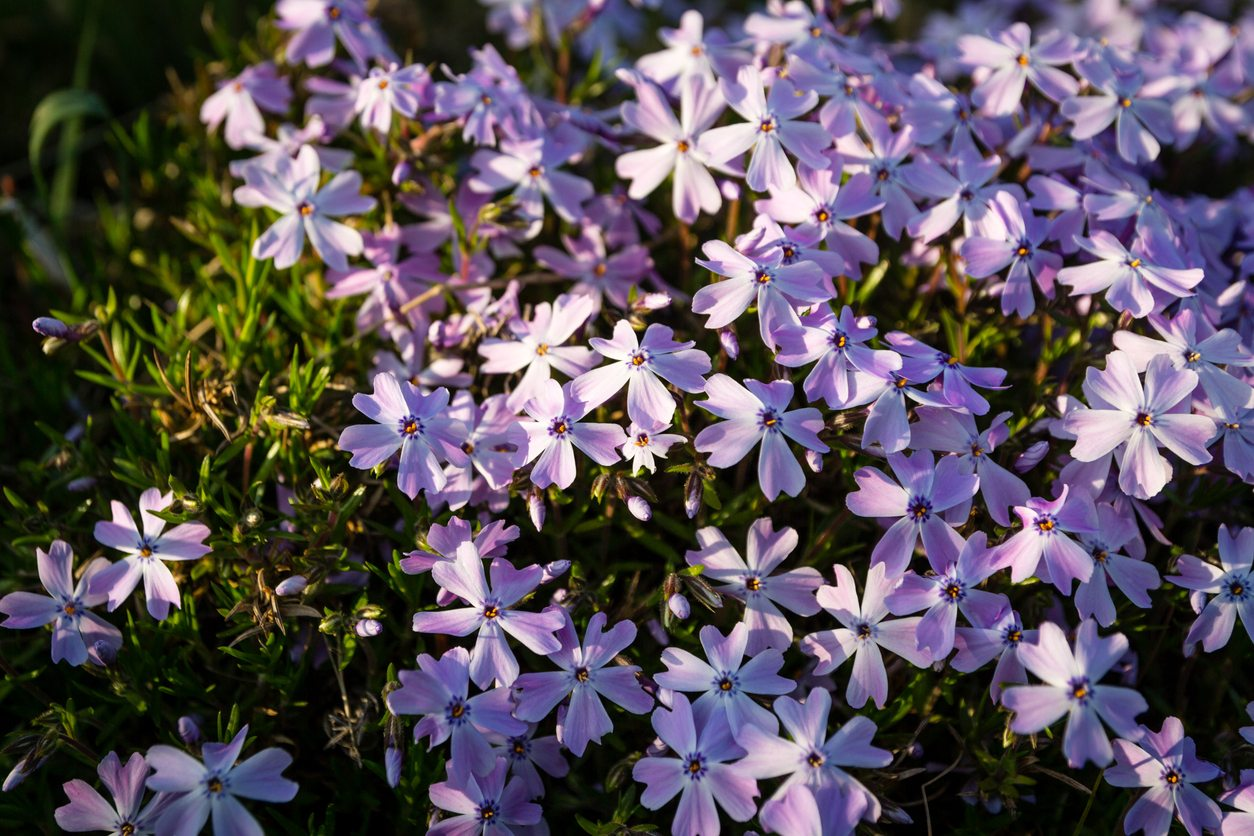 Hardy Ground Covers What Are The Best Ground Covers For Zone 6