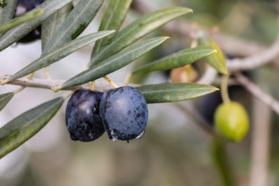 Types Of Zone 6 Olives What Are The Best Olive Trees For