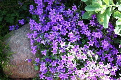 Care of aubrieta groundcover what are aubrieta growing conditions false rockcress plants learn how to grow aubrieta groundcover mightylinksfo