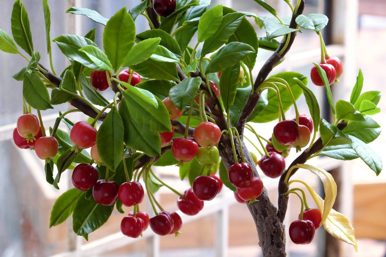 Caring For Potted Cherry Trees How To Grow Cherry Trees In Containers