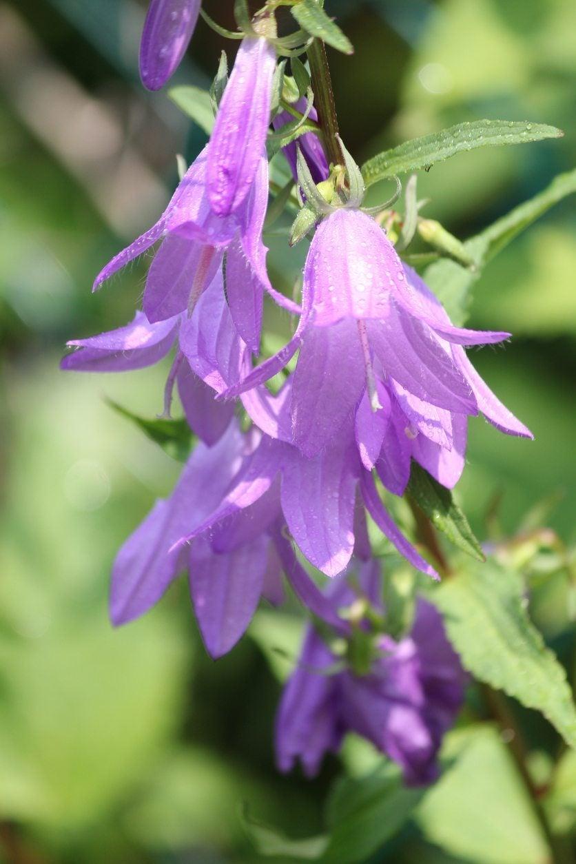 creeping bellflower eradication