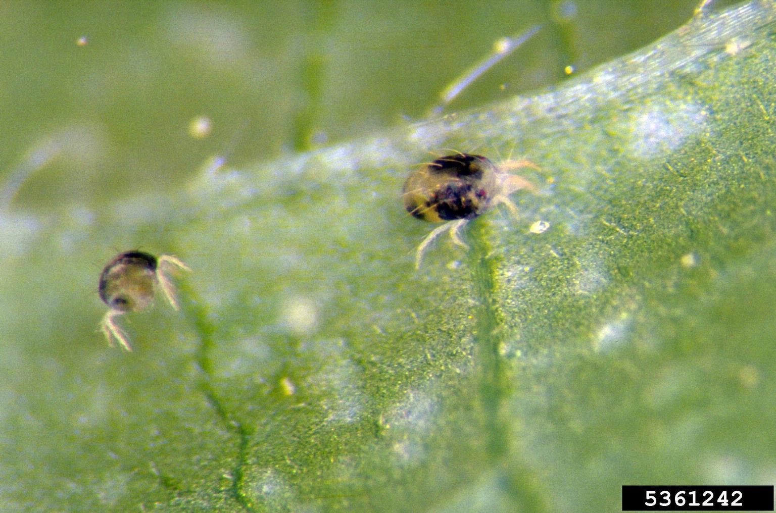 two spotted spider mite control tips on treating two spotted mites on plants. Black Bedroom Furniture Sets. Home Design Ideas