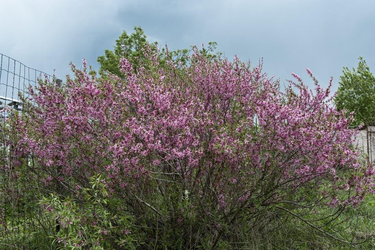 Zone 5 Flowering Shrubs Choosing Ornamental Shrubs For Zone 5 Climates