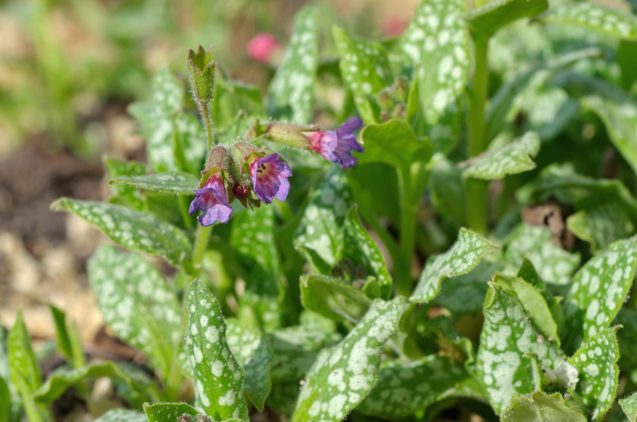 Shade Plants For Zone 6 Gardens Tips On Planting Zone 6 Shade Plants