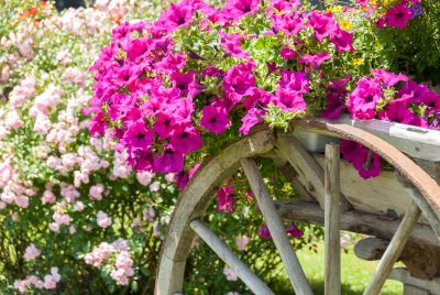 Popular Annuals For Zone 7 Tips On Planting Annuals In Zone 7 Gardens