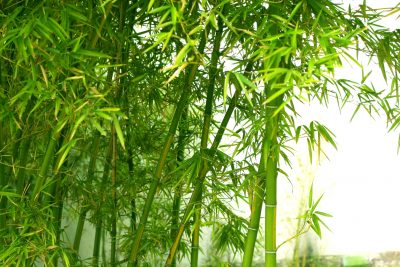 ornamental bamboo fence.htm zone 7 bamboo varieties best types of bamboo for zone 7  zone 7 bamboo varieties best types of