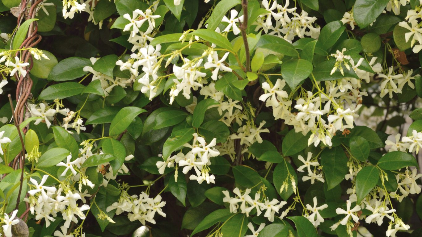 Jasmine vines for zone 7 gardens tips on growing jasmine in zone 7 izmirmasajfo