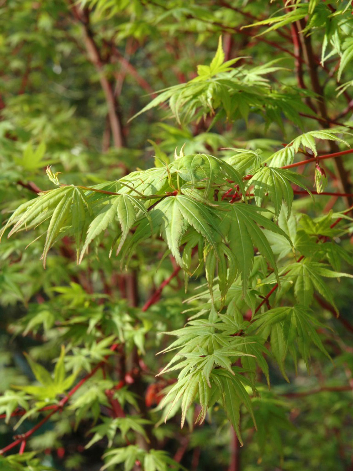Coral Bark Tree Information Caring For Coral Bark Japanese Maple Trees