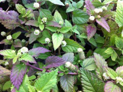 how to use sweet herb