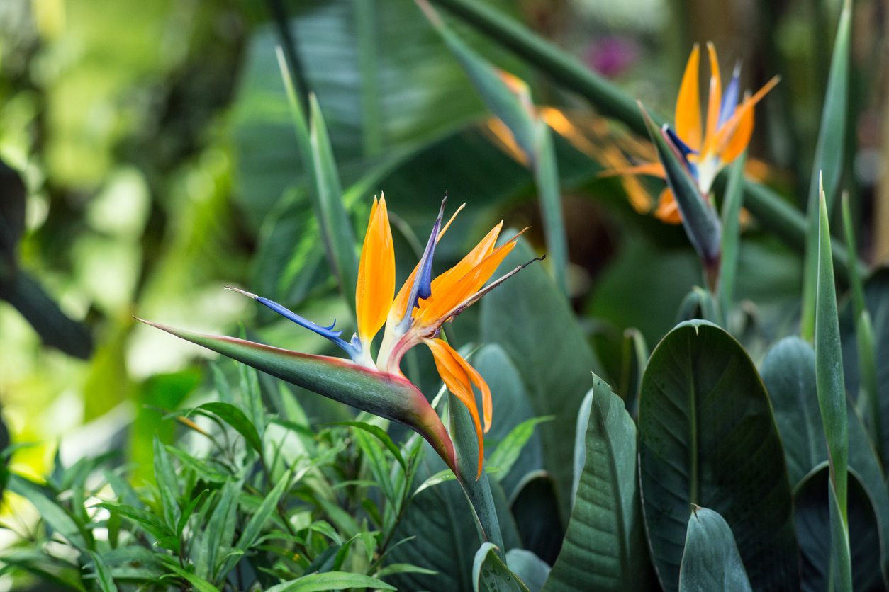 Bird Of Paradise Fertilizer When And What To Feed Bird Of Paradise