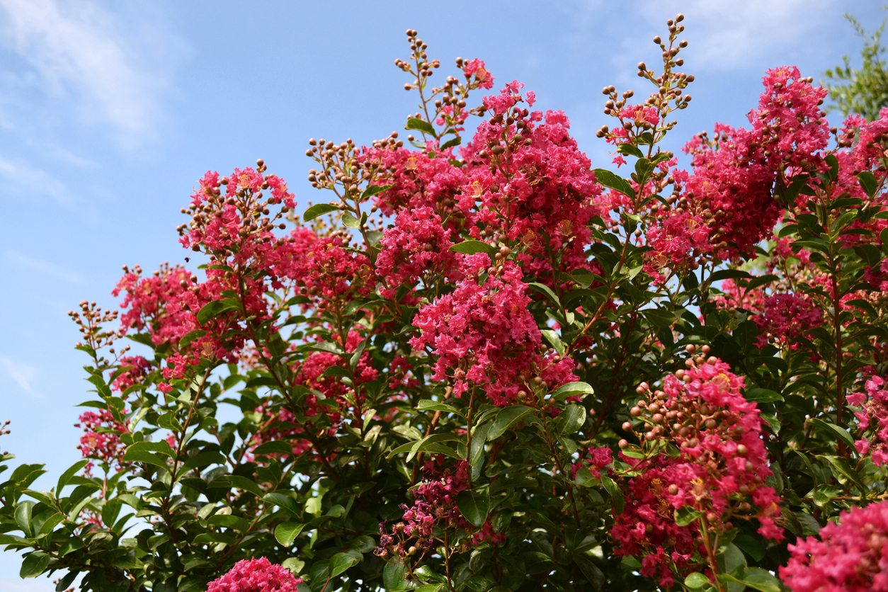 Alternatives To Crepe Myrtles Are There Plants Similar To Crepe Myrtle