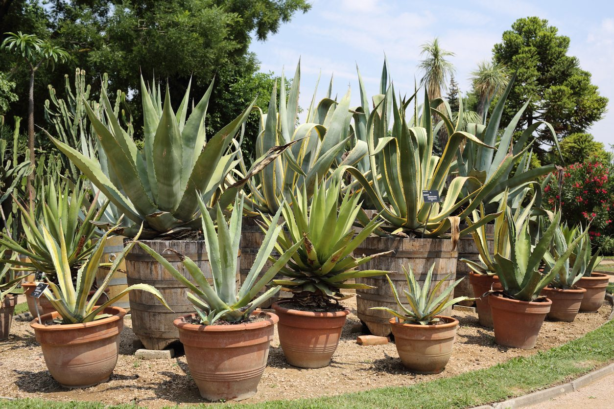 Can Agave Grow In Pots Learn How To Grow Agave In Containers