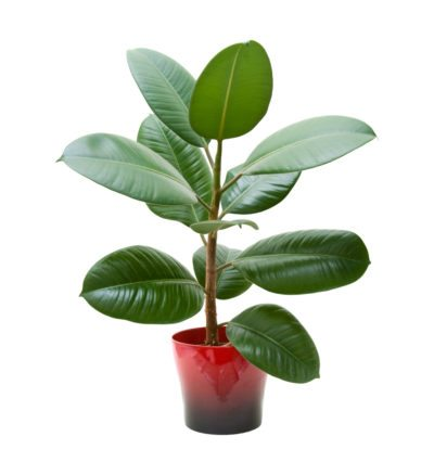 Rubber Tree Plant Potting When Does Need A New Pot