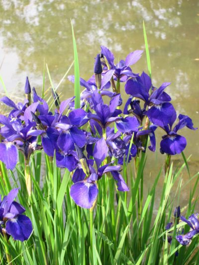 Planting A Water Iris What Are Water Iris Growing Conditions