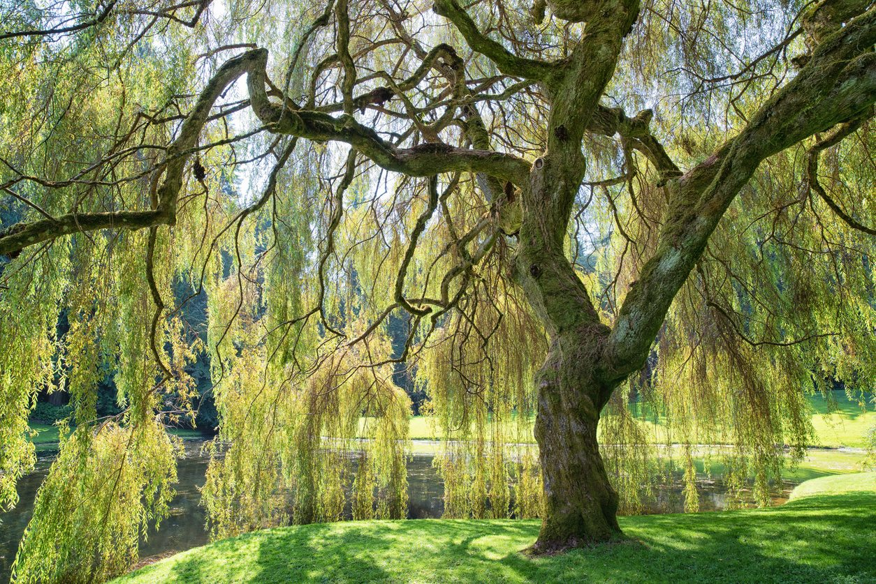 Weeping Willow Information Learn About Caring For A Weeping Willow Tree