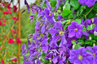 Hardy Vine Plants Tips On Growing Vines In Zone 7 Landscapes