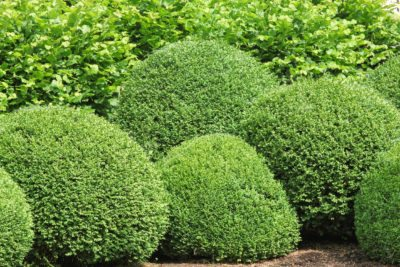 Planting Zone 7 Evergreens Tips On Growing Evergreen Shrubs In
