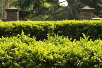 tips on choosing landscape hedges best hedge plants for zone gardens