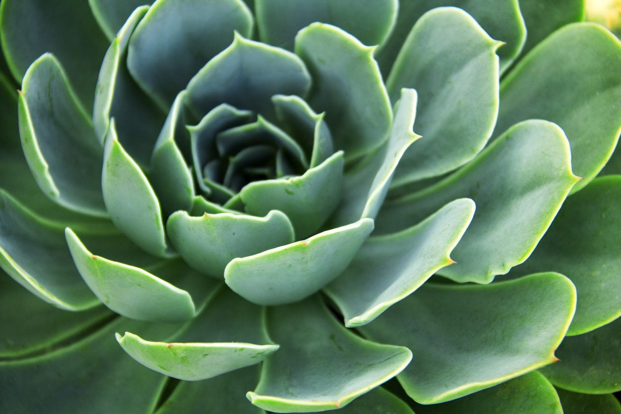 Zone 7 Succulents Choosing Succulent Plants For Zone 7 Gardens