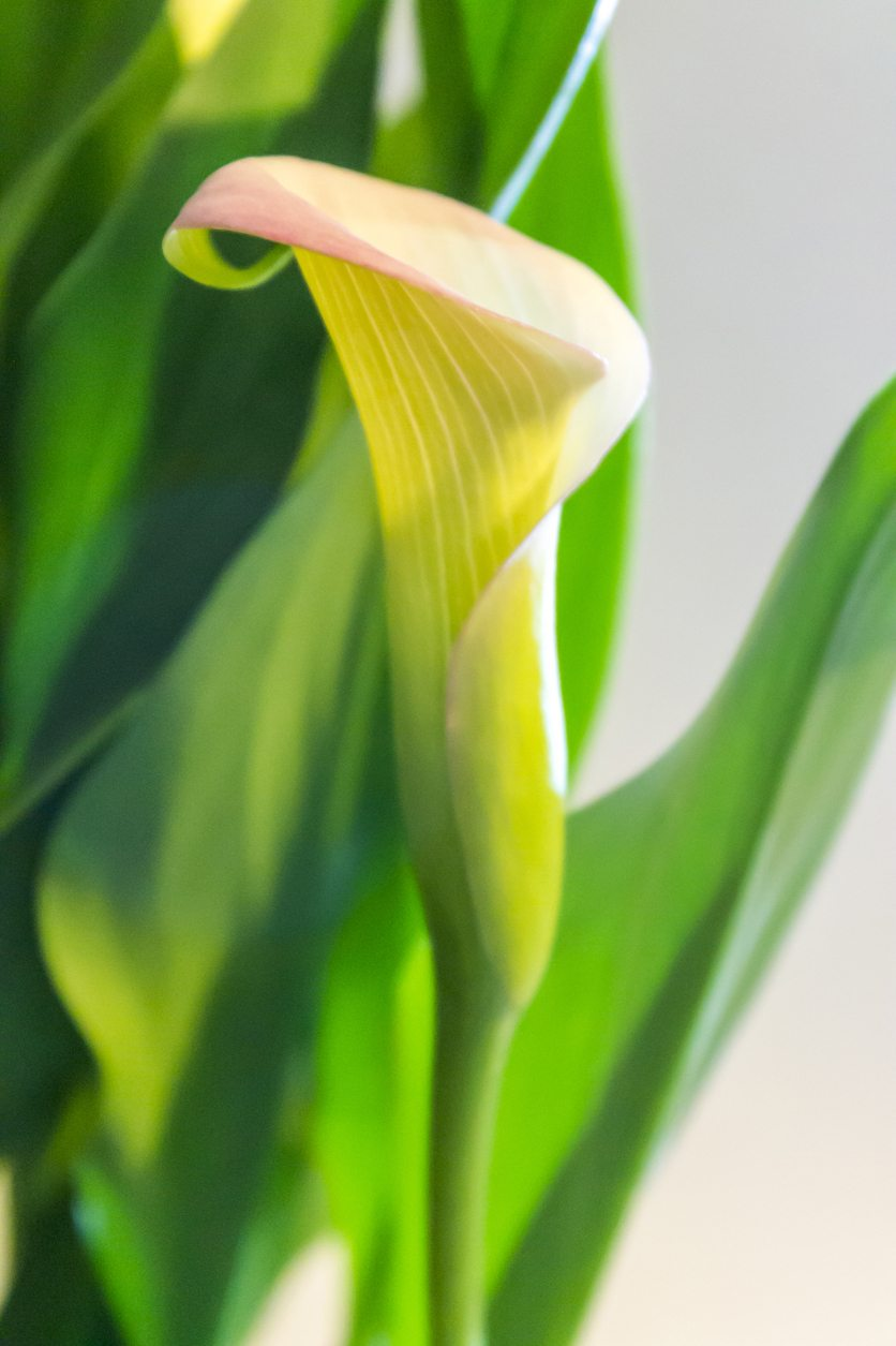 Getting buds to open on callas how to get blooms on calla lilies izmirmasajfo