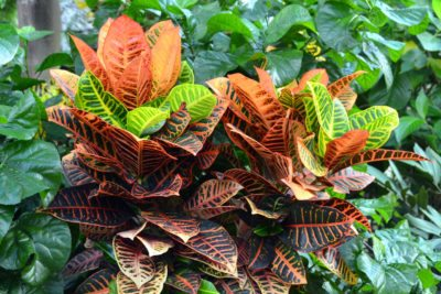 Care Of Outdoor Croton Plants How To Grow A Outdoors