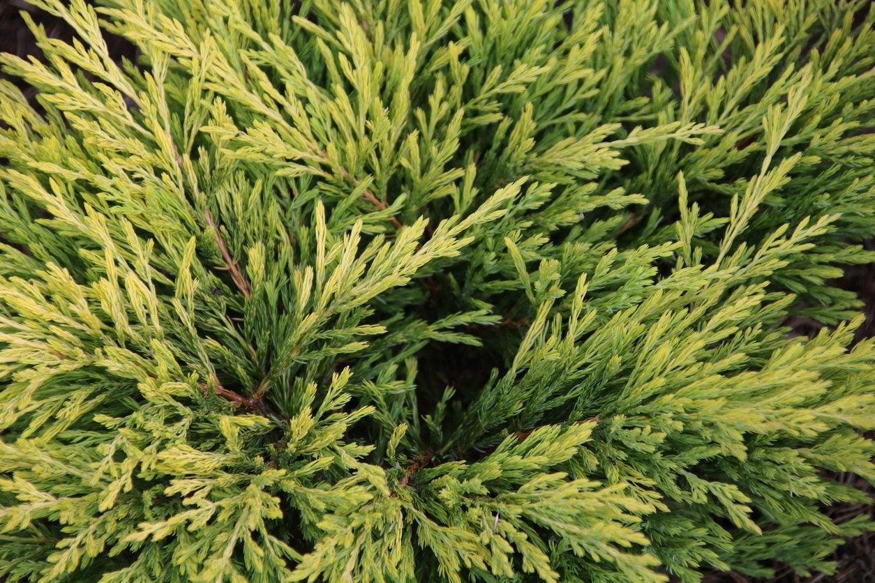 Hinoki False Cypress Information How To Grow A Hinoki Cypress