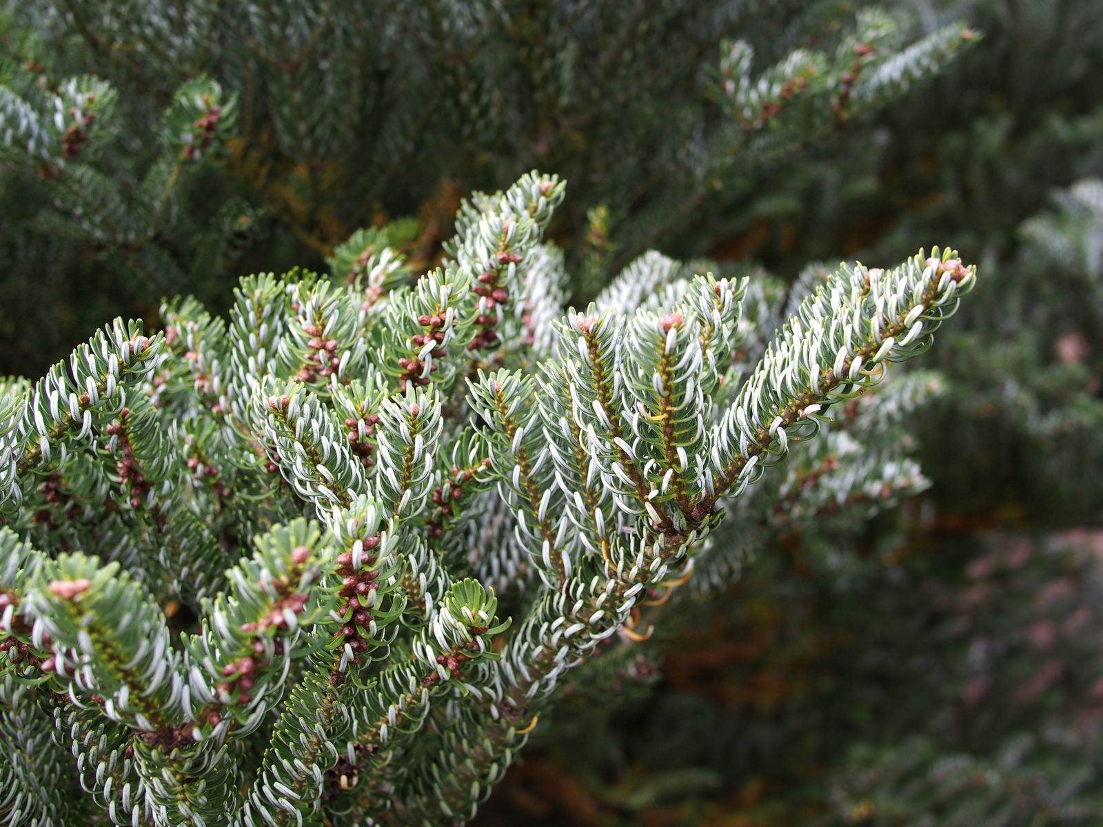 Korean fir: planting and care 99