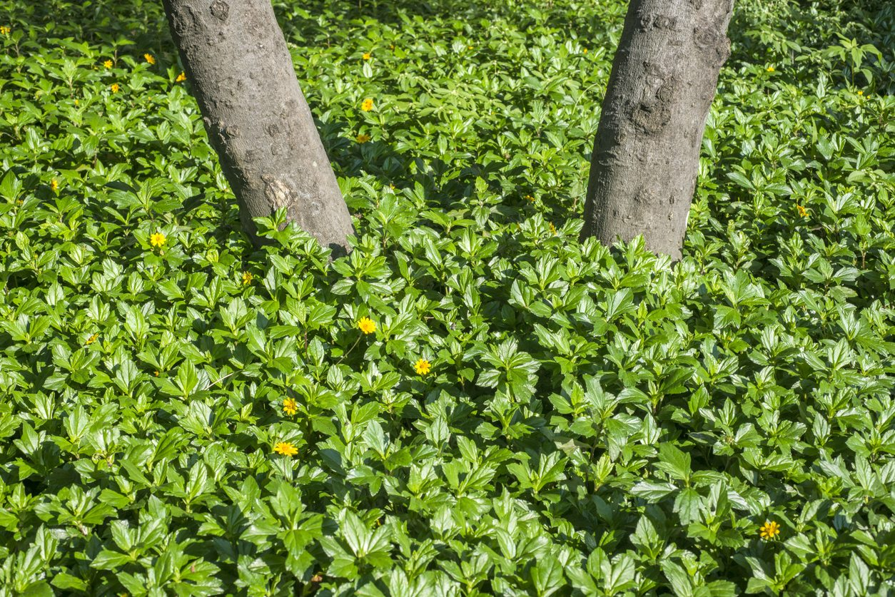 Growing Wedelia Groundcover What Are Wedelia Plant Uses In The Garden