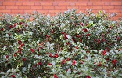 Cold Hardy Hedges Tips On Growing A