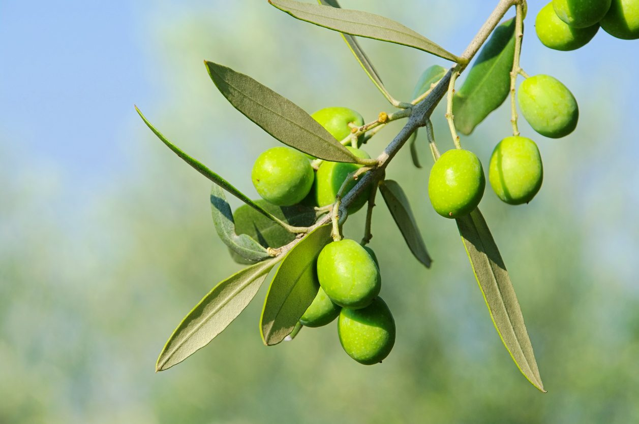 Can Olive Trees Grow In Zone 7 Types Of Cold Hardy