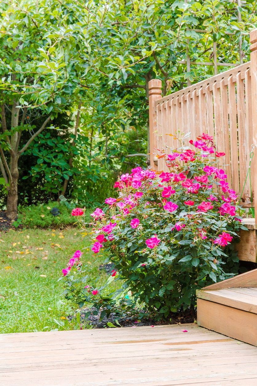 Types Of Knock Out Roses For Zone 8 Learn About Growing