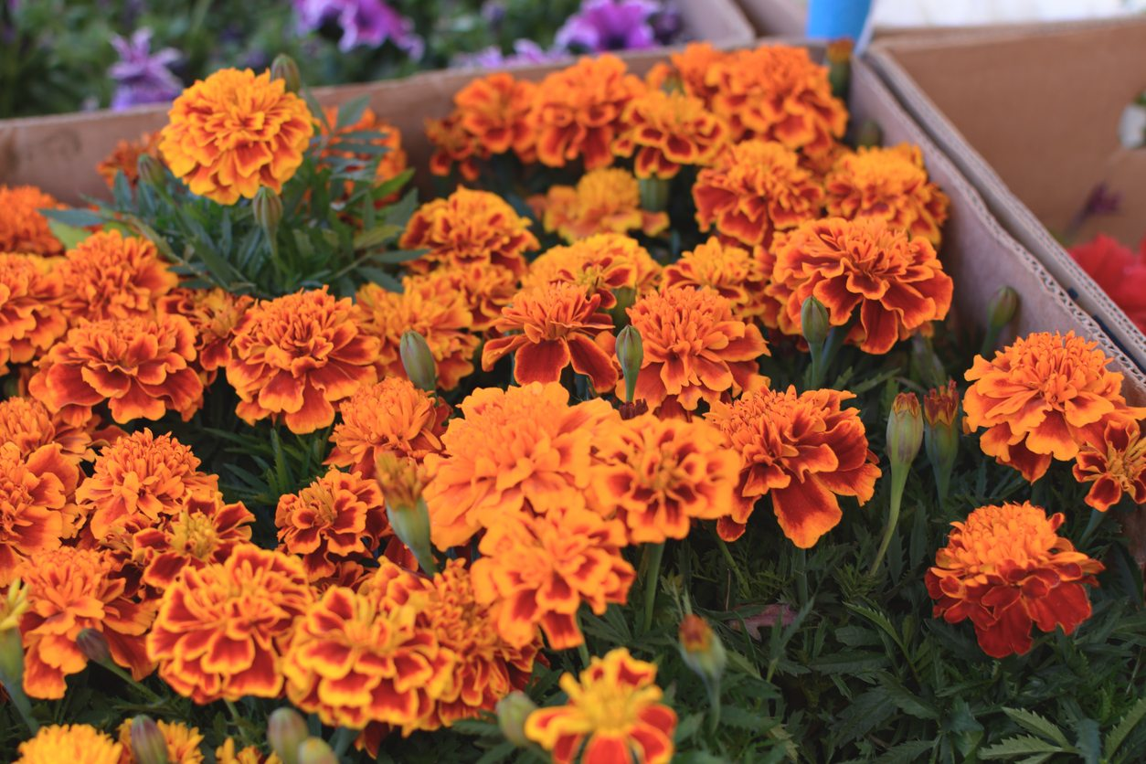 Growing Annuals In Zone 8 What Are The Best Annuals For Zone 8